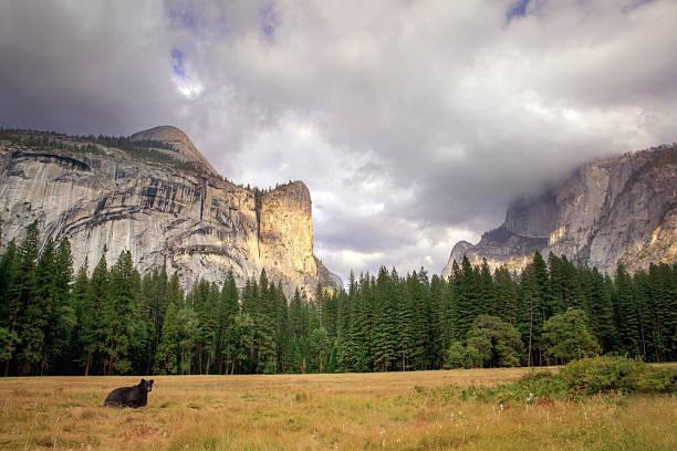 black bear in Yosemite valley stock photo