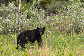 A Black Bear is looking out of a Forest in Canada