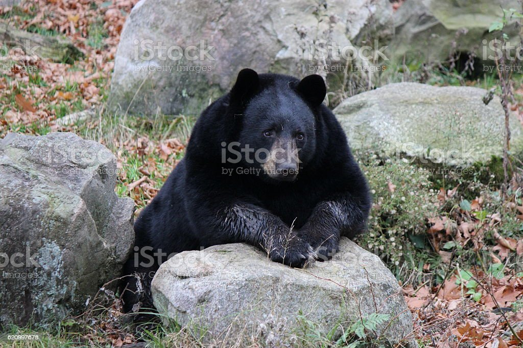Black Bear Leaning On a Rock stock photo
