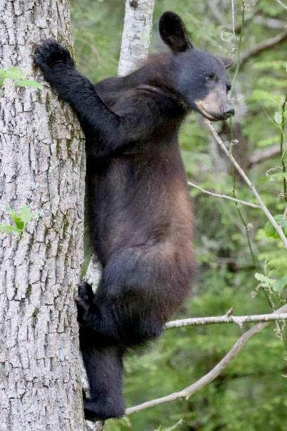 Black Bear looking down from a tree stock photo