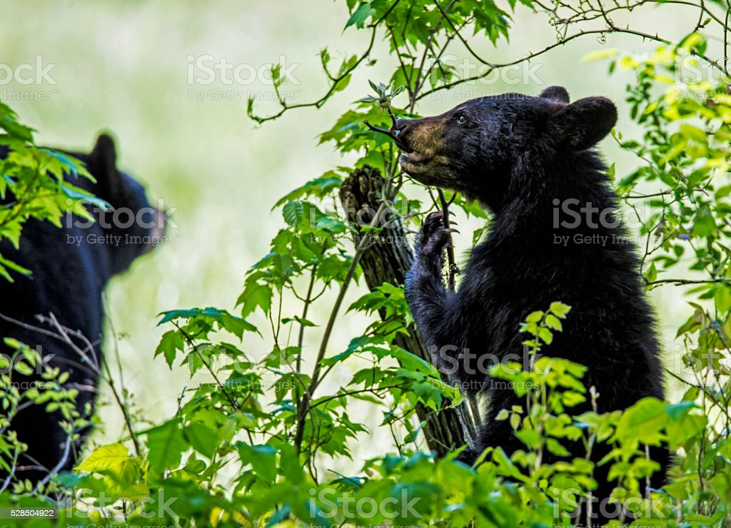 Black Bear mother and cub-standing-feeding on green leaves. stock photo
