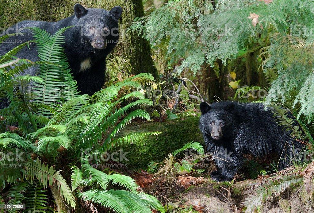 Black Bear Mother & Child,  Vancouver Island stock photo