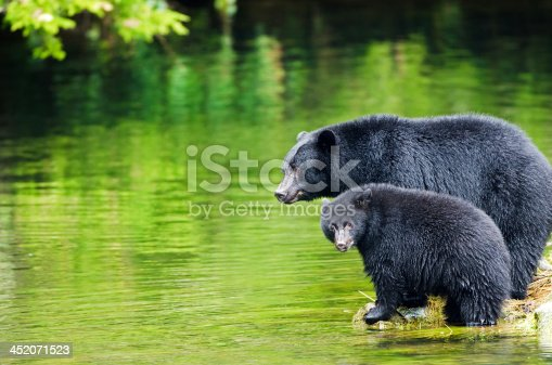 Black Bear Sow & Cub in the rain forest, looking for salmon at the river's edge. Wet fur. Vancouver Island, Canada.