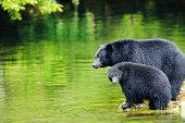 A closeup of a Black Bear.