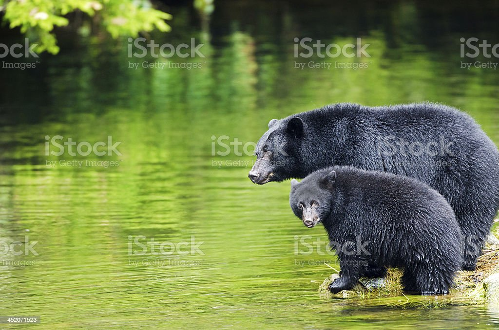 Black Bear Mother & cub,  Vancouver Island, Canada stock photo