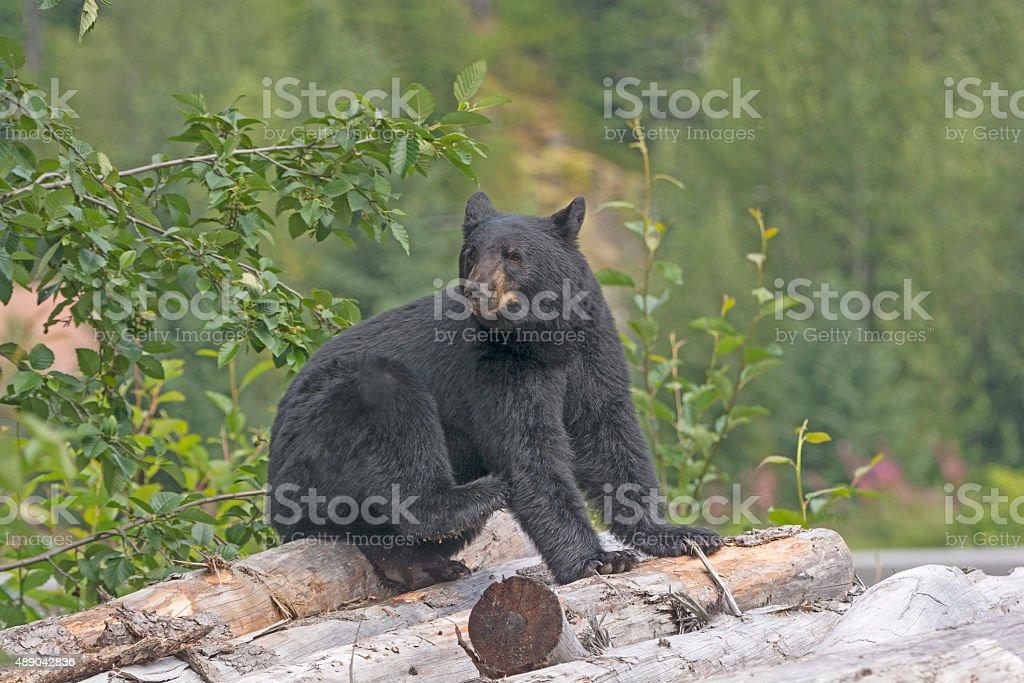Black Bear on a Log Pile in Alaska stock photo