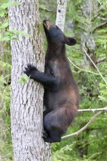 Black Bear on a Tree stock photo
