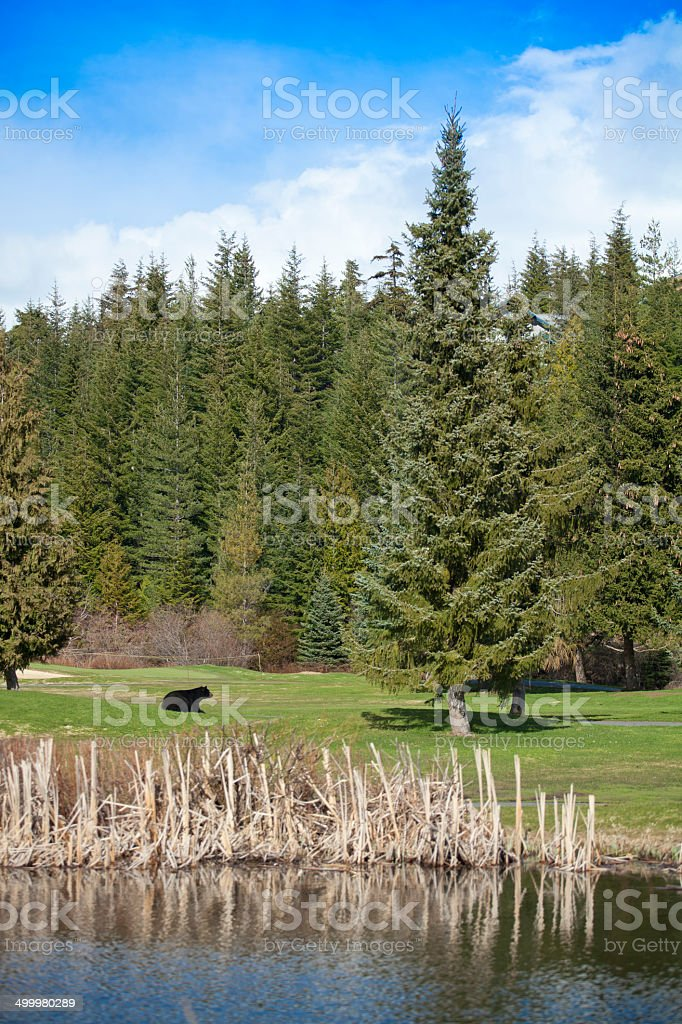Black Bear on Golf Course stock photo