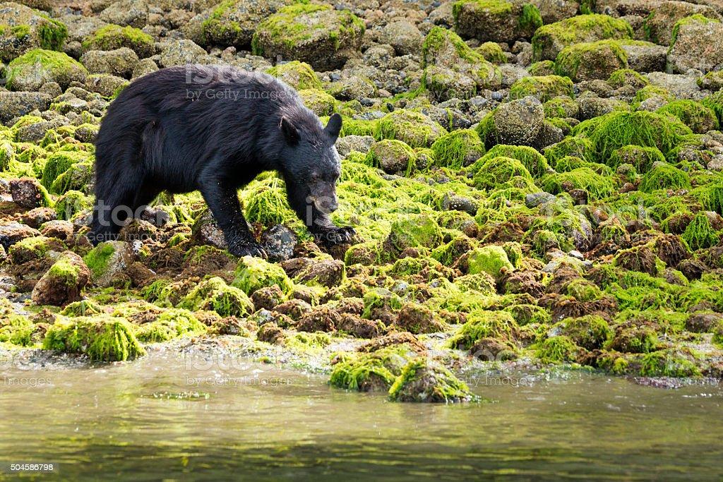 Black bear on mossy green coastal rocks, Tofino stock photo