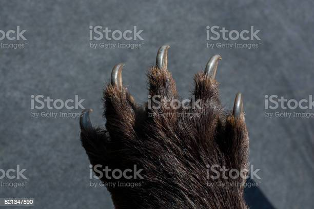 Photo of Black Bear Paw With sharp Claws