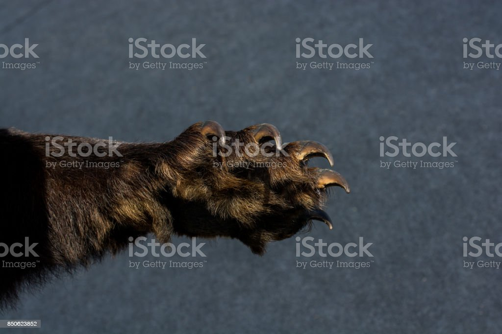 Black Bear Paw With sharp Claws stock photo