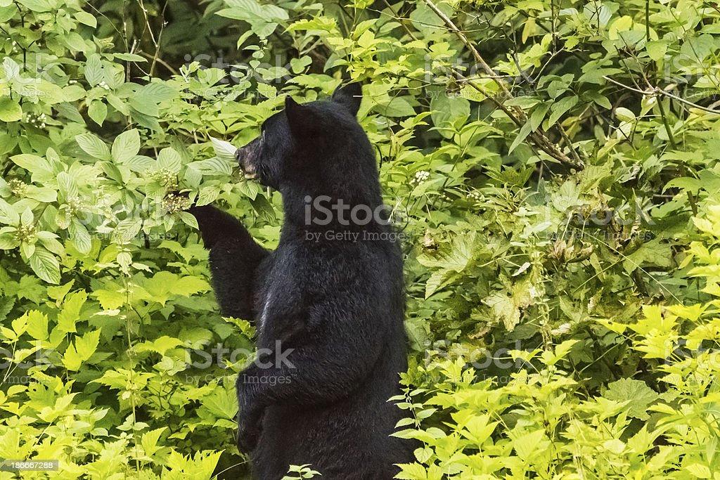 Black Bear picking berries stock photo