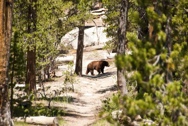 schwarzer bär - pacific crest trail stock-fotos und bilder