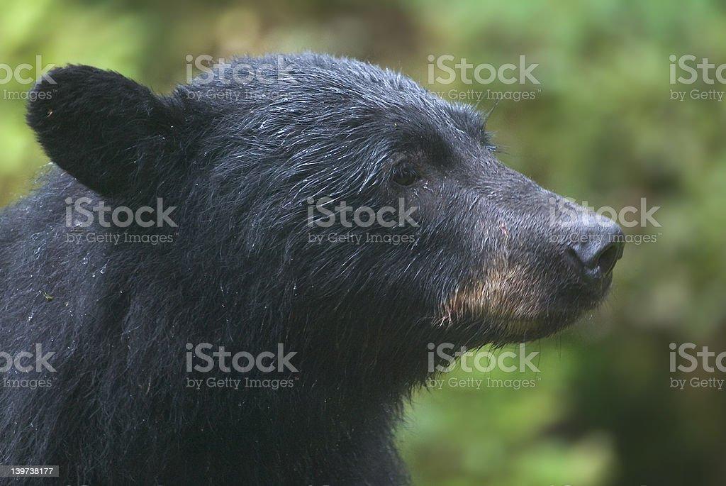 Black Bear - Royalty-free Alaska - US State Stock Photo