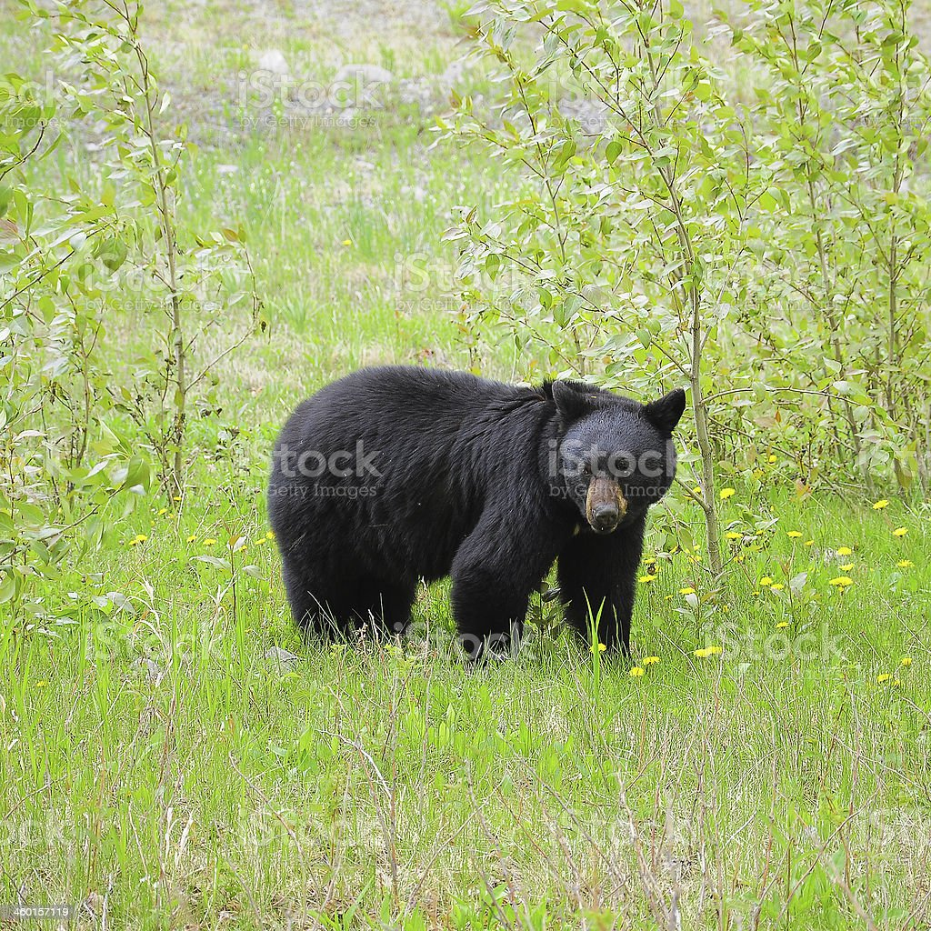 Black bear. stock photo