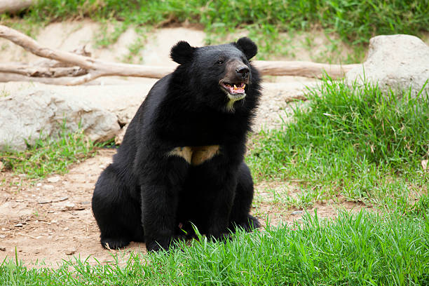 Black bear stock photo