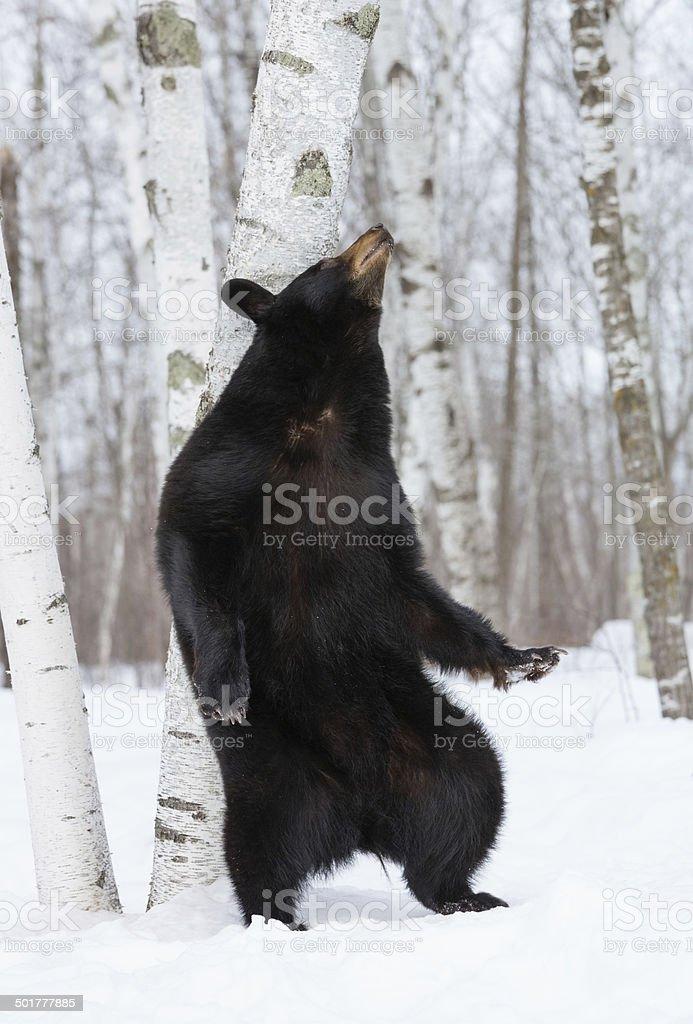 Urso preto - foto de acervo