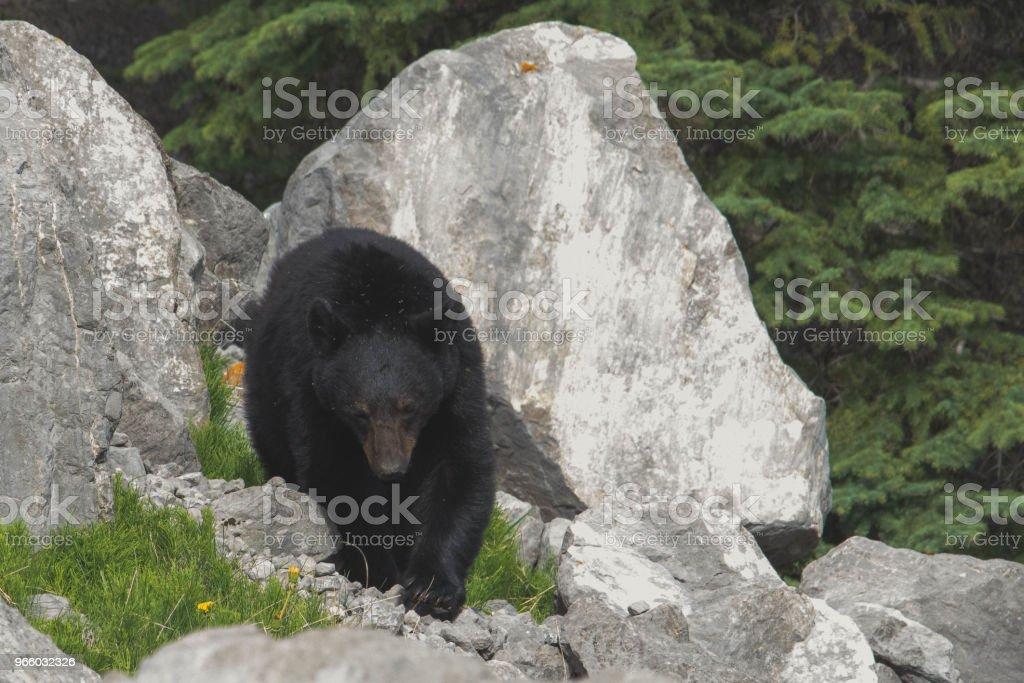 Black bear - Royalty-free Alberta Stock Photo