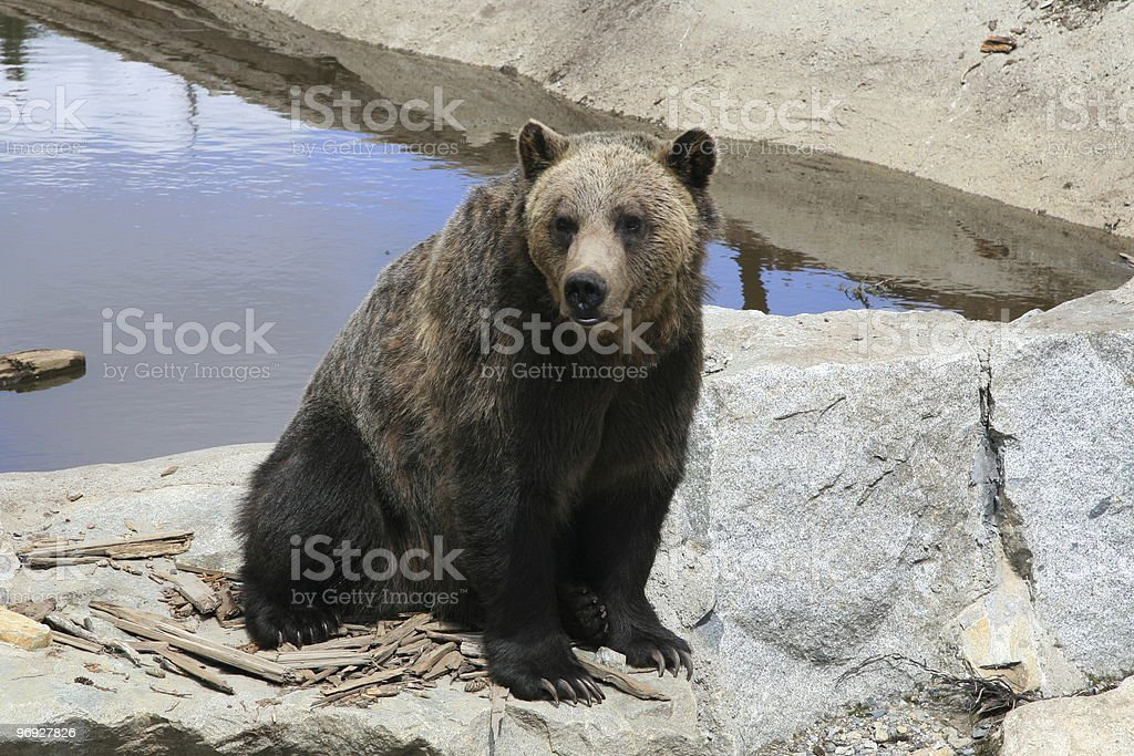 Black Bear royalty-free stock photo