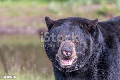 portrait of a black bear face