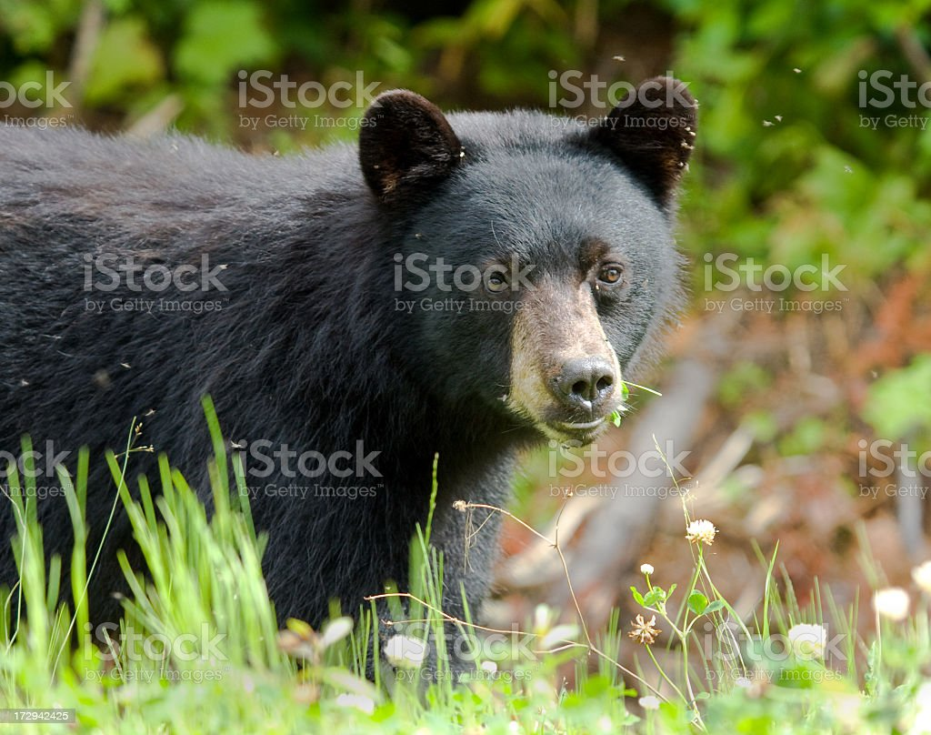 Black Bear Portrait stock photo