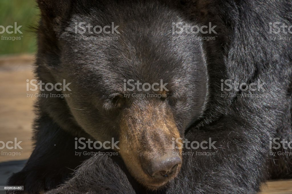 Black bear posing for a close-up stock photo