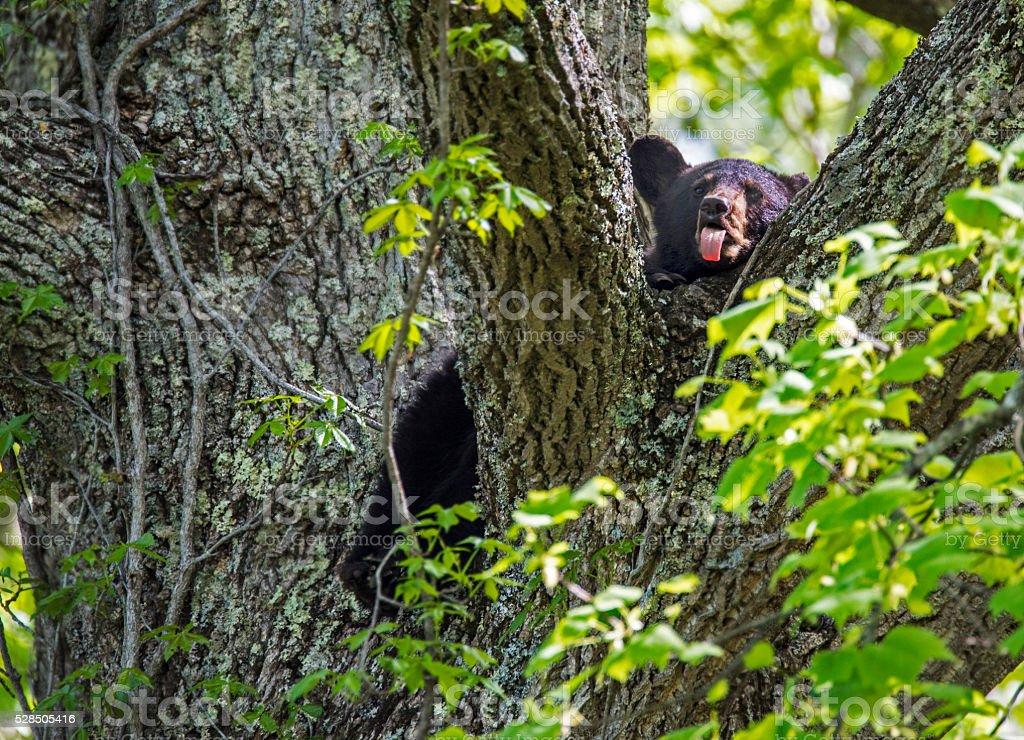 Black Bear resting in tree top. stock photo