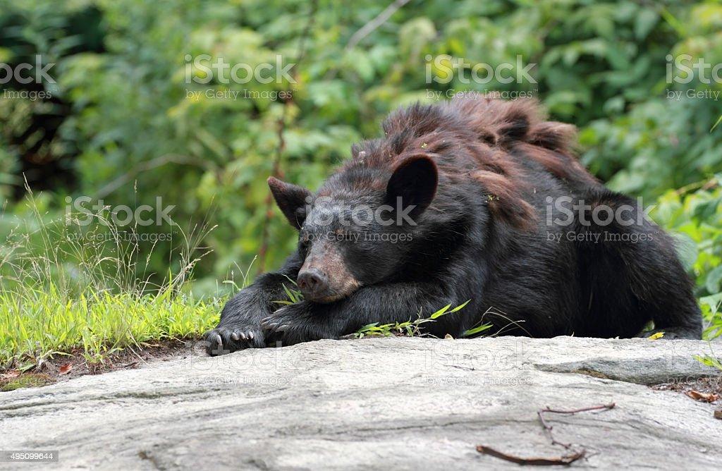 black bear resting stock photo