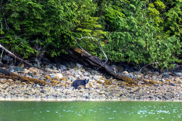 Black Bear searching for food at low tide, Tofino, British Columbia, Canada stock photo
