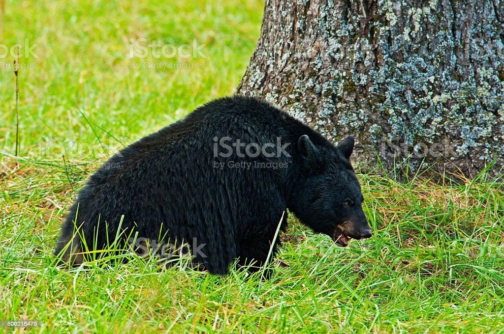 Black Bear sits beneath a walnut tree. stock photo