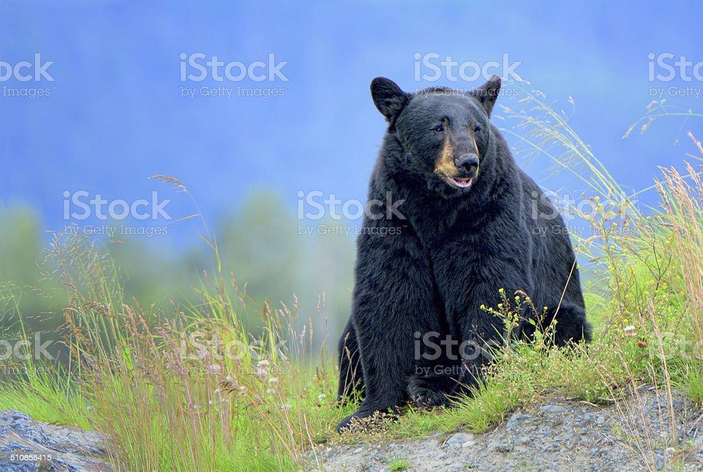 Black Bear Sitting stock photo