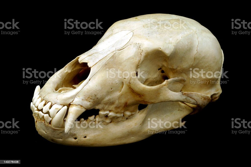 Black Bear Skull royalty-free stock photo