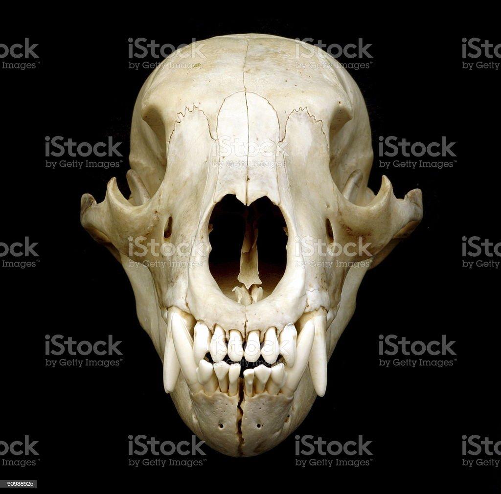 Black Bear Skull stock photo