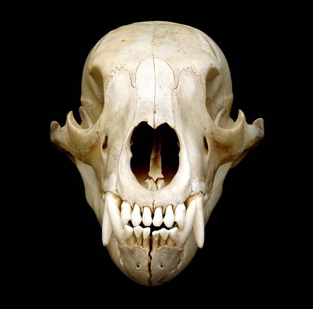 Black Bear Skull stock photo