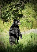 Black Bear standing on his hind legs and checking out what's around.