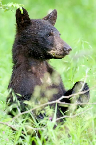 Black Bear standing and eating stock photo