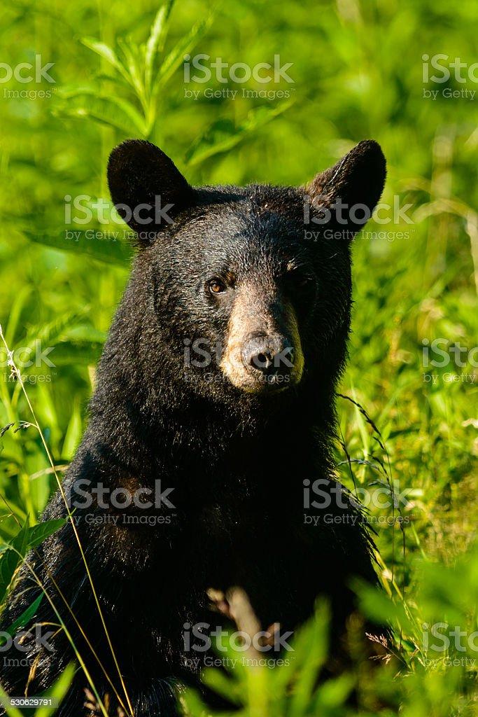 Black bear standing in tall grasses stock photo