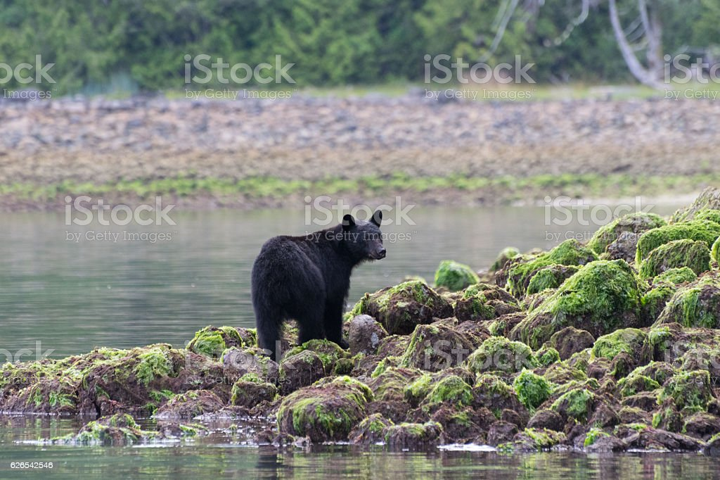 Black bear standing on rocks stock photo