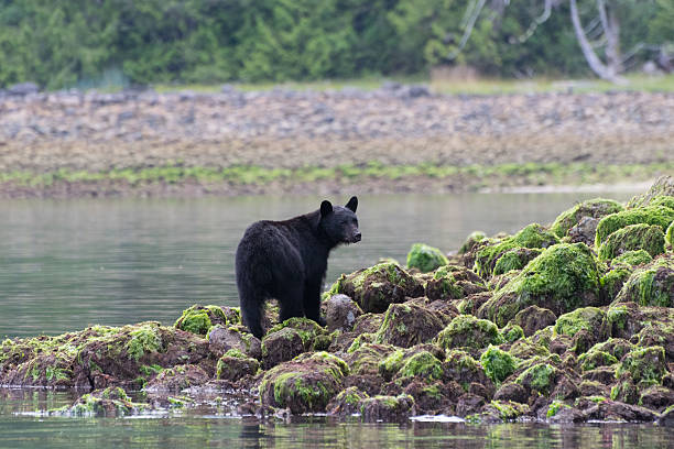 Black bear standing on rocks Black bear standing on rocks at low tide with green seaweed Tofino British Columbia Canada vancouver island stock pictures, royalty-free photos & images