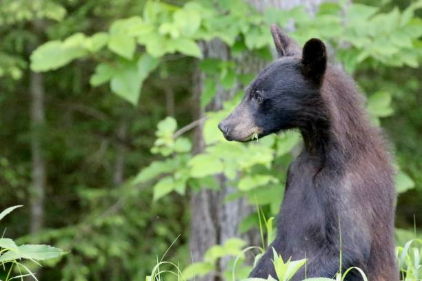 Black Bear Standing stock photo