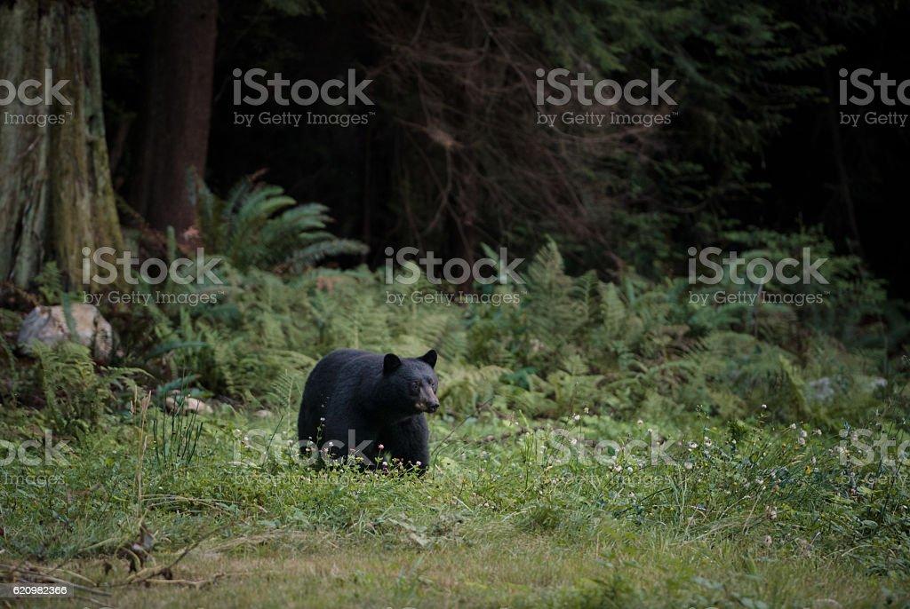 Black bear strolls through the grass foto royalty-free