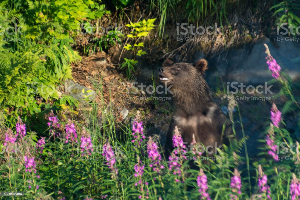 Black bear surrounded by fireweed stock photo