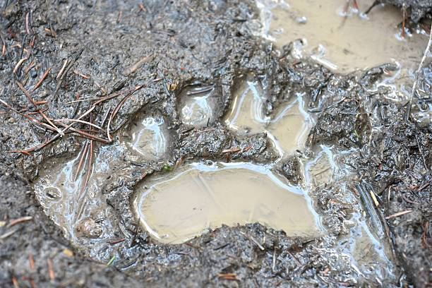 Black Bear Track stock photo
