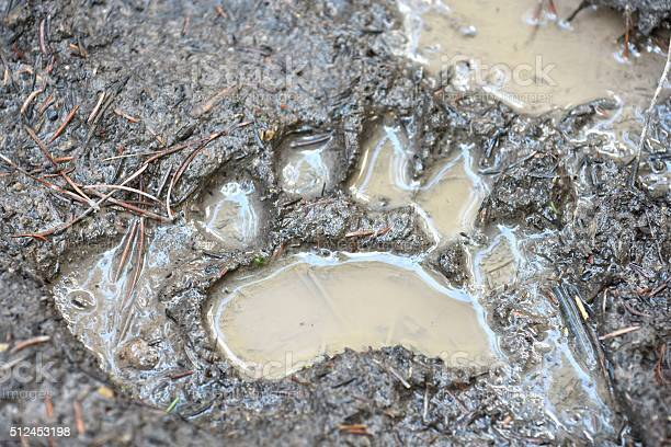 Black Bear Track Stock Photo - Download Image Now