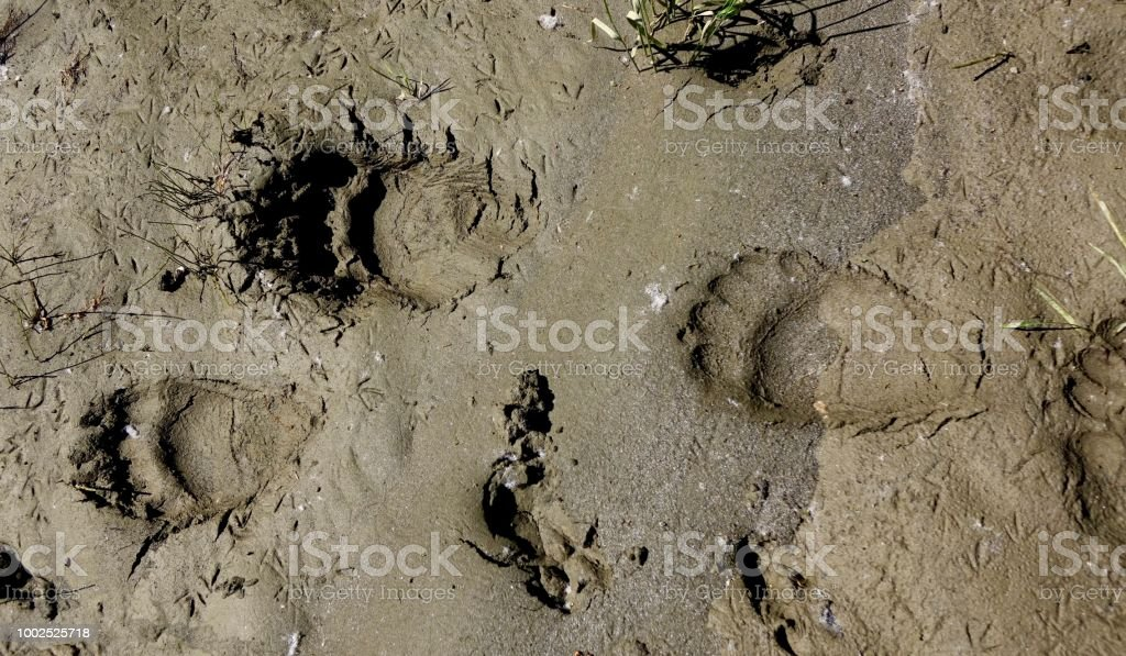 Black Bear Tracks stock photo