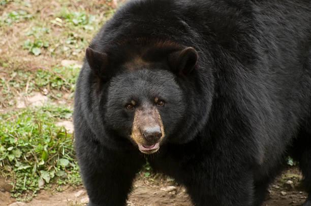 Black Bear up close stock photo