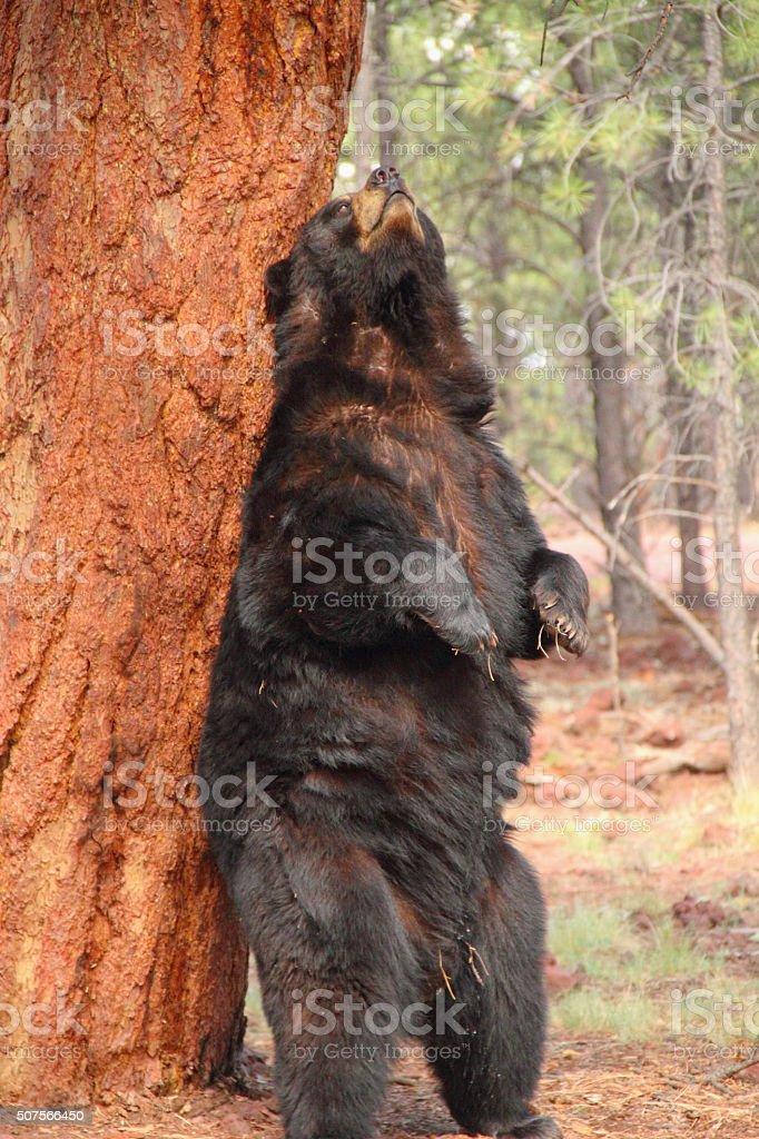 Black Bear Ursus Americanus Animal stock photo