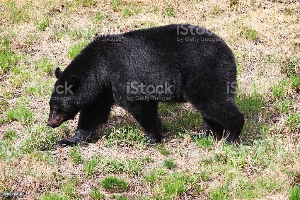 Black Bear Ursus americanus Carnivore Foraging stock photo