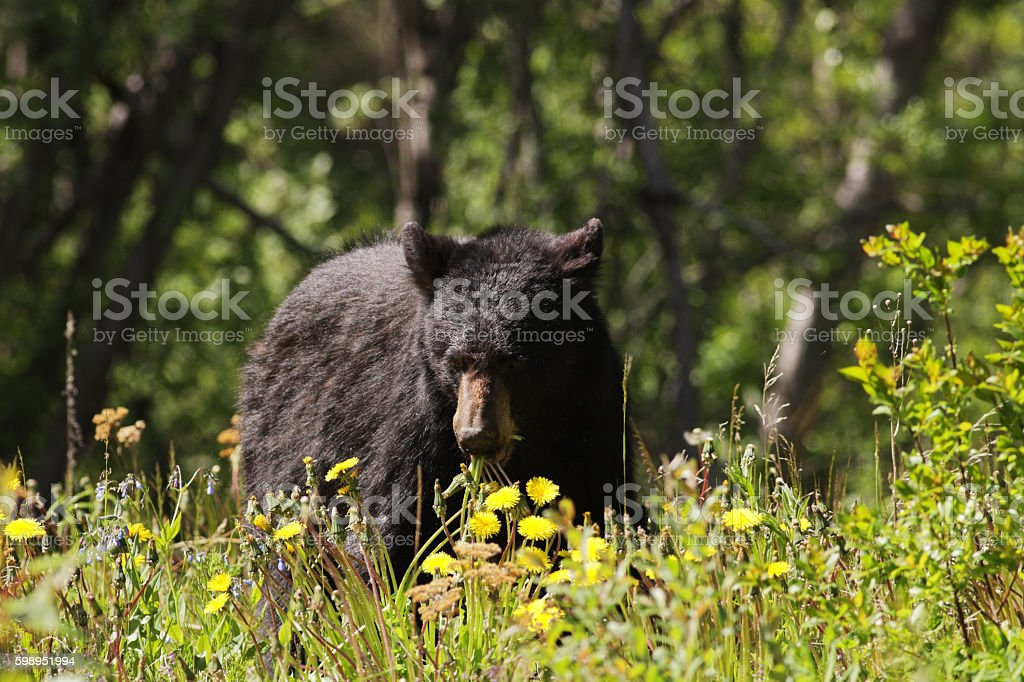 Black Bear Ursus americanus Eating Dandelions stock photo