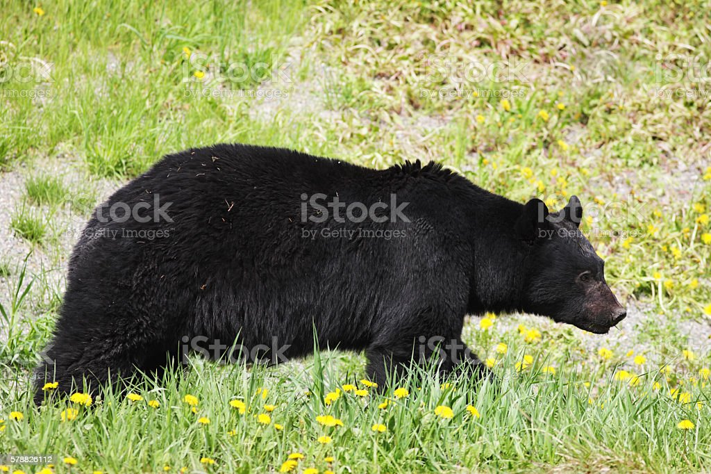 Black Bear Ursus Americanus Foraging Animal stock photo